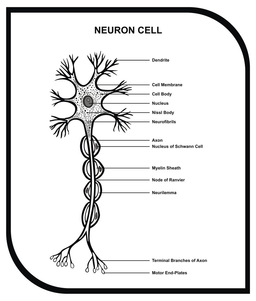 VECTOR - Human Neuron Cell - Including Cell Parts ( dendrite, nu